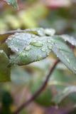 raindrops листьев Стоковая Фотография