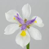 Raindrops на одичалом цветке радужки стоковые фотографии rf