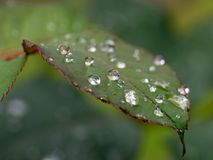 Raindrops. On rose leaf Stock Image