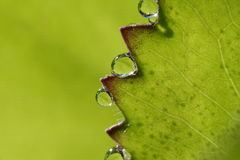 Raindrops. On a leaf in cloud forest, Venezuela Royalty Free Stock Image