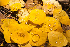 Raindrops on Aspen leaves Royalty Free Stock Images