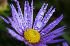 Raindrops on aster Stock Photos