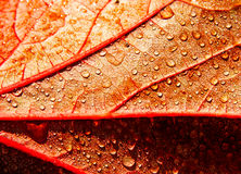 Raindrops on autumn leaf Stock Image