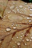 Raindrops on Autumn Leaves. Closeup of rain drops on a dry autumn leaf Royalty Free Stock Images