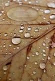 Raindrops on Autumn Leaves. Closeup of rain drops on a dry autumn leaf Stock Photography