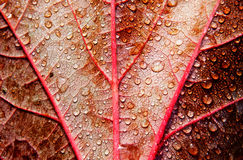 Raindrops on autumn red leaf Stock Images