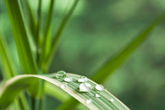 Raindrops on bamboo leaves Royalty Free Stock Photo