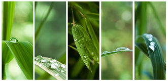 Raindrops on bamboo leaves Stock Photo