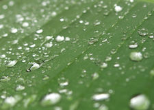 Raindrops on Banana Leaf. Singapore - August 2016 - This image was captured after heavy shower. The raindrops caught on the banana leaf were sparkling under the stock photo