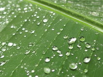 Raindrops on Banana Leaf. Singapore - August 2016 - This image was captured after heavy shower. The raindrops caught on the banana leaf were sparkling under the Stock Images