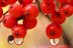 Raindrops on berries Royalty Free Stock Photo