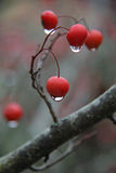 Raindrops on Berries Stock Photos