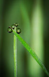 Raindrops. A blade of grass with rain drops Royalty Free Stock Photography