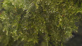 Raindrops on the branch of a thuja stock video footage