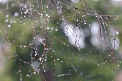 The raindrops on the branches of a birch Stock Image