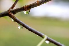 Raindrops on the branches of a tree close up stock photos