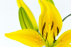 Raindrops on bright golden yellow lily flower  on white Royalty Free Stock Photography