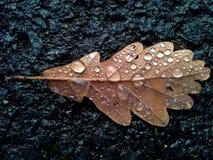 Raindrops on Brown Oak Tree Leaf 1 Royalty Free Stock Image