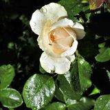 Raindrops on Bud cream roses under the sun. Flowering rose with raindrops in the garden on a sunny day Stock Photo