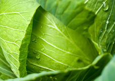Raindrops on cabbage Royalty Free Stock Image