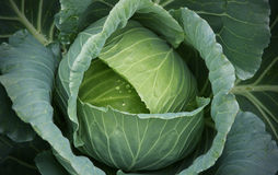 Raindrops on Cabbage. A close look at a cabbage in a cabbage field just as the raindrops start falling Royalty Free Stock Photos