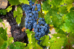 Raindrops on Cabernet Sauvignon grapes and leaves in California vineyard Stock Photography