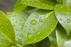 Raindrops on Camellia Leaves. A close up on raindrops on camellia leaves royalty free stock photography