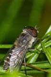 Raindrops caught on a horsefly Stock Image