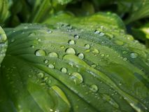 Raindrops close-up on green leaf royalty free stock image