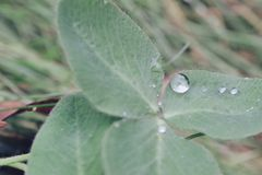 Raindrops on clover royalty free stock image