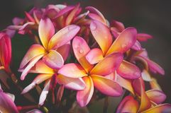 Raindrops on Colorful Frangipani Flowers royalty free stock image