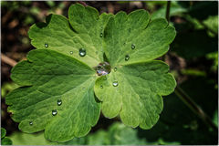 Raindrops on columbine leaf Stock Photo