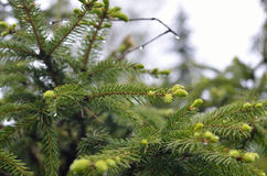 Raindrops on Conifer Branch. Wet branch of coniferous tree with raindrops after rain stock image