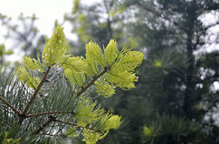 Raindrops on Conifer Branch. Wet branch of coniferous tree with raindrops after rain royalty free stock photo