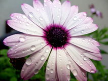 Raindrops on daisies. A close-up shot of a white and purple daisy covered in water droplets Royalty Free Stock Photo