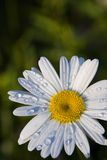 Raindrops on Daisy. Raindrops on the petals of a cheery daisy after a summer shower; green background Royalty Free Stock Images