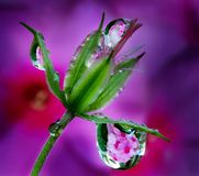 Raindrops on delicate bud. Macro photography of raindrops on a delicate Bud on a background of lilac and purple flowers of Phlox. Phlox reflected in a drops of Stock Photos