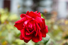 Raindrops or dew drops on a flower of  red rose Royalty Free Stock Photography