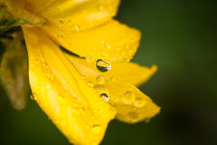 Raindrops or dew on flowers globe-flower Royalty Free Stock Photography