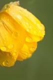 Raindrops or dew on flowers globe-flower Stock Image