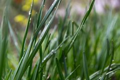 Raindrops, dew on grass stalks. Lawn after the rain royalty free stock photos
