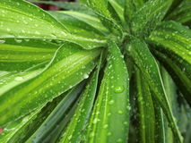 Raindrops on Dracaena Reflexa Stock Photography