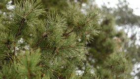 Raindrops are dripping through the pine branches early spring. stock footage