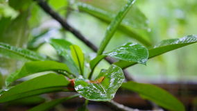 Raindrops dripping on a tropical leaf. Rain drops drip on the tropical frangipani leaf, close-up stock video