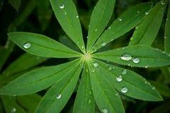 raindrops för morgon för daggleaflupin Royaltyfri Bild