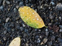 Raindrops on fallen leaf stock photo