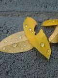 Raindrops on yellow fallen leaves royalty free stock image