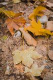 Raindrops on fallen maple leaf