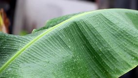 Raindrops falling on a green banana leaf in rains. stock footage