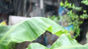 Raindrops falling on a green banana leaf in rains. stock video footage